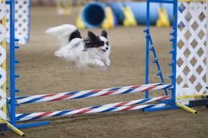 EVENT - Agility Run Thru @ ANIMAL WATCHERS' AMAZING CANINE'S AGILITY RUN THRU  | Huachuca City | Arizona | United States
