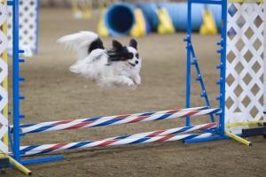 EVENT - Agility Run Thru @ ANIMAL WATCHERS' AMAZING CANINE'S AGILITY RUN THRU  | Huachuca City | Arizona | United States