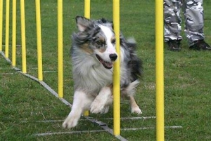 Agility Classes - Advanced SAT @ Animal Watchers & More | Huachuca City | Arizona | United States