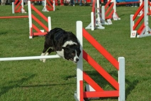 Agility Classes - Beginners - 5 Week Saturdays @ Animal Watchers & More | Huachuca City | Arizona | United States